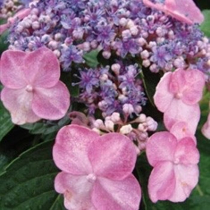 #1 Hydrangea mac Twist-n-Shout (Endless Summer)/Bigleaf/Lacecap Repeat Pink or Blue