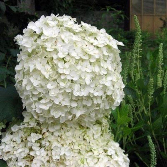 #2 Hydrangea arborescens Lil' Annie/Smooth Dwarf White (Annabelle Type)