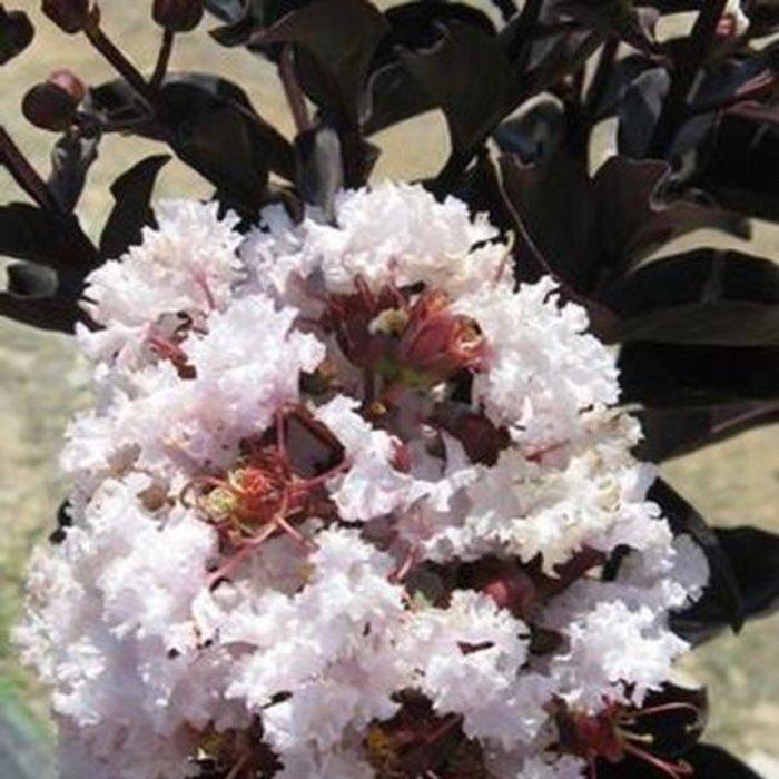 #3 Lagerstroemia Ebony Glow/Crape Myrtle Semi-dwarf Blush-pink