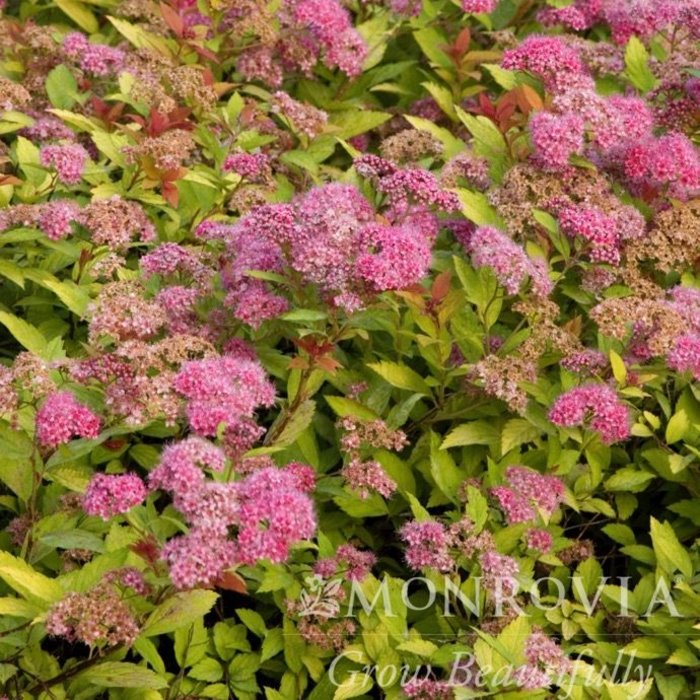 #2 Spiraea J Magic Carpet