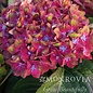 #3 Hydrangea mac Pistachio (Next Gen)/Bigleaf/Mophead Rebloom Lime Green to Pink