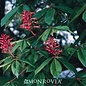 #5 Aesculus pavia/Red Buckeye