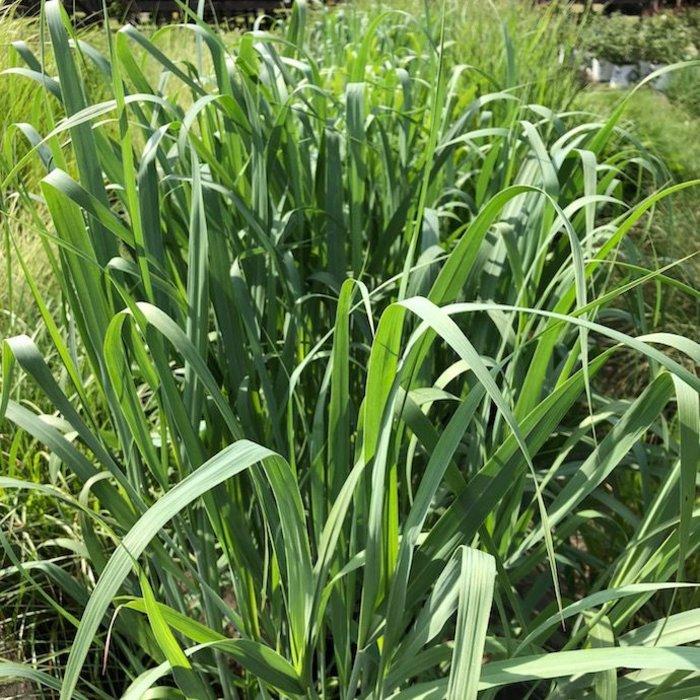 #3 Grass Panicum virg Dallas Blues/Switch