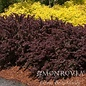 #3 Berberis thun Crimson Pygmy / Dwarf Barberry