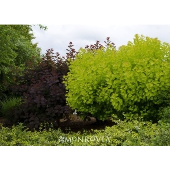 #2 Cotinus cogg Ancot/Golden Spirit Smoketree