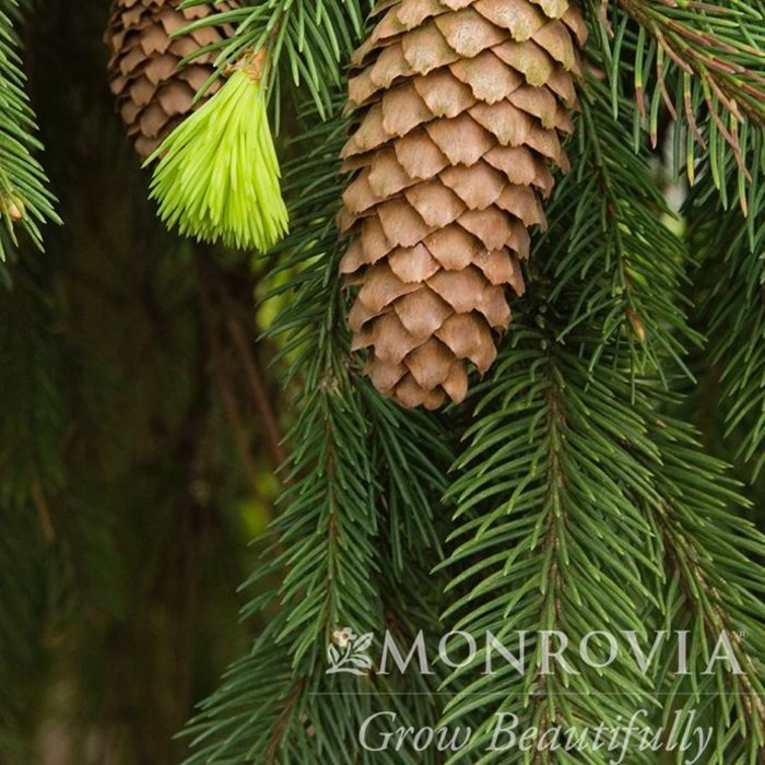 #3 Picea abies 'Frohburg'/Weeping Norway Spruce