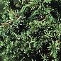 #3 Juniperus con Blue Pacific/Shore Juniper Creeping