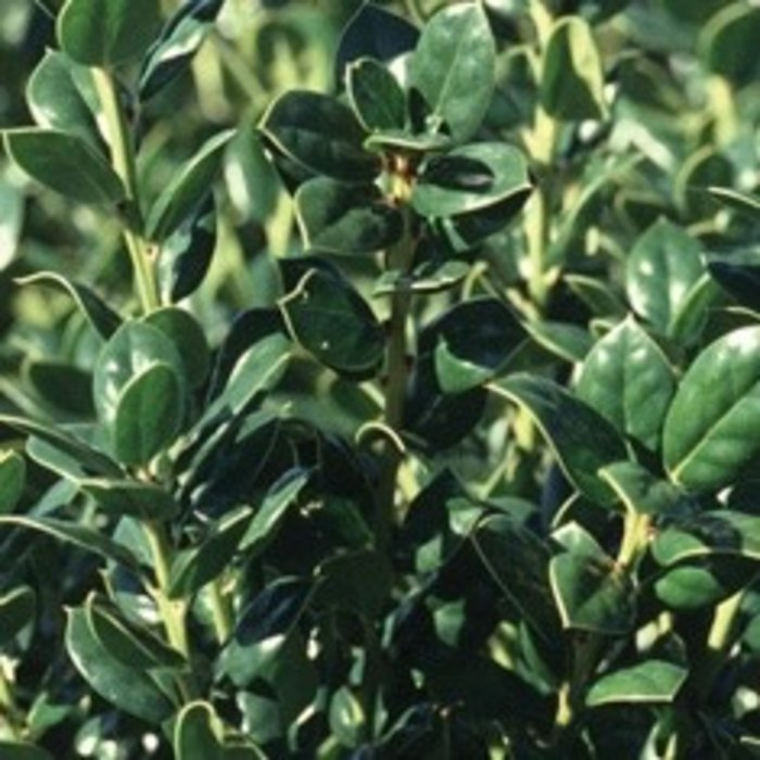 #3 Ilex cor Burfordii Nana / Dwarf Burford Chinese Holly