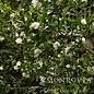 #7 Camellia x Winters Snowman/White No Warranty