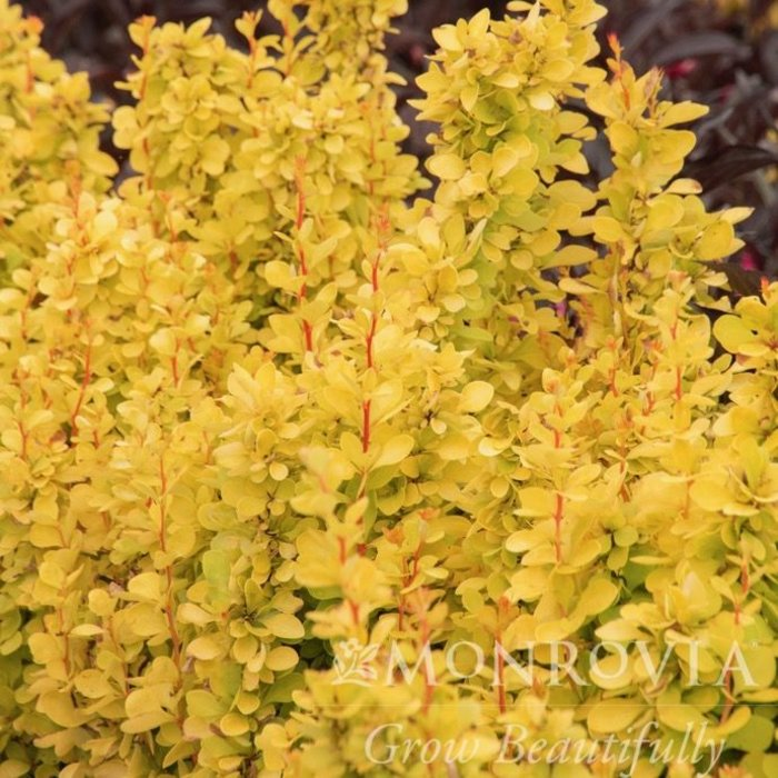 #1 Berberis thun Maria/ Sunjoy Gold Pillar Barberry