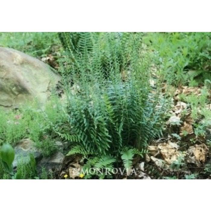 #1 Polystichum acrostichoides/Christmas Fern Native