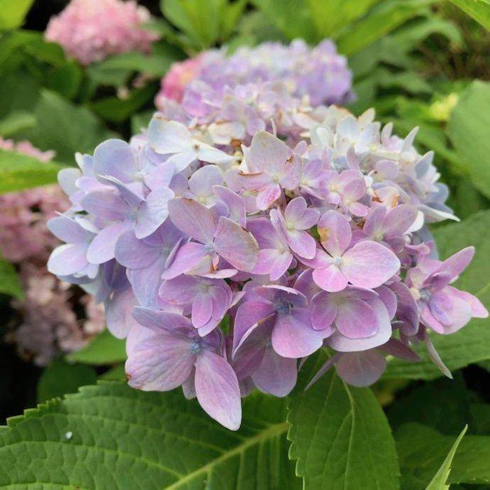 #10 Hydrangea mac Blue Enchantress/Bigleaf/Mophead Rebloom Blue to Pink