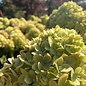 #7 Hydrangea pan Limelight/Panicle White