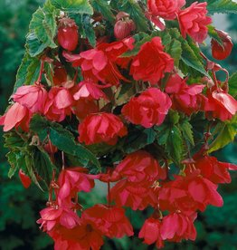 Begonia Tuber- Hanging type-Pink, each price