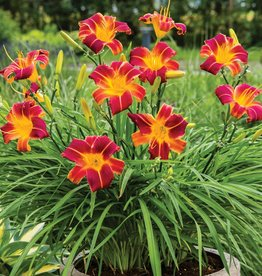 Daylily Red Ribs, 2 plants per bag