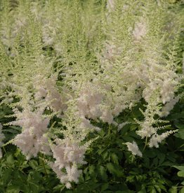 Astilbe chinensis 'Milk and Honey #1