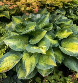 Hosta 'Brother Stefan' #1
