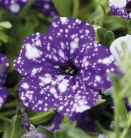 Petunia Headliner Night Sky 3.5in