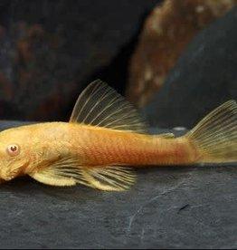 Albino Bristlenose Pleco Florida Reg