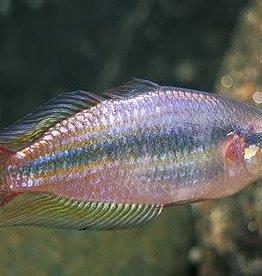 Australian Rainbow Reg
