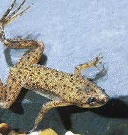 African Dwarf Frog Reg
