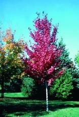 Acer rubrum 'Autumn Spire' #10