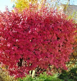Euonymus alatus 'Odom' #5 Burning Bush