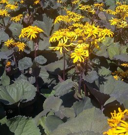 Ligularia dentata 'Othello' #2
