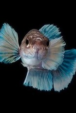 Dumbo Roundtail Betta Male Lrg