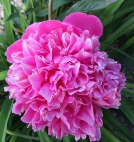 Paeonia lactiflora 'Pink Cameo' #1Peony