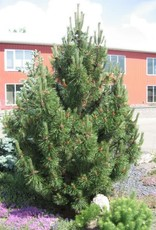 Pinus mugo 'Tannenbaum' #10