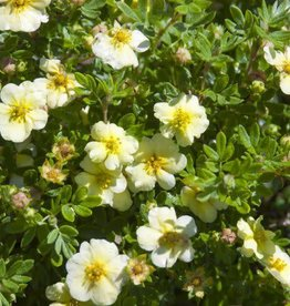 Potentilla frut. 'Bailmeringue' #2 Lemon Meringue™