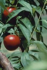 Prunus 'Toka' #5 Toka Plum