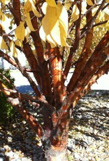 Prunus maackii #10