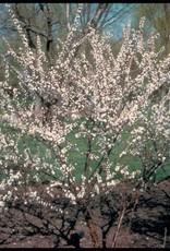 Prunus tomentosa #2 Nanking Cherry
