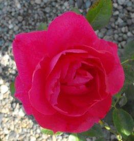 Rosa x 'Felix Leclerc'  #2