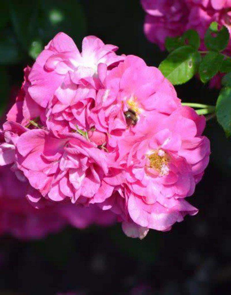 Rosa 'John Cabot' #2