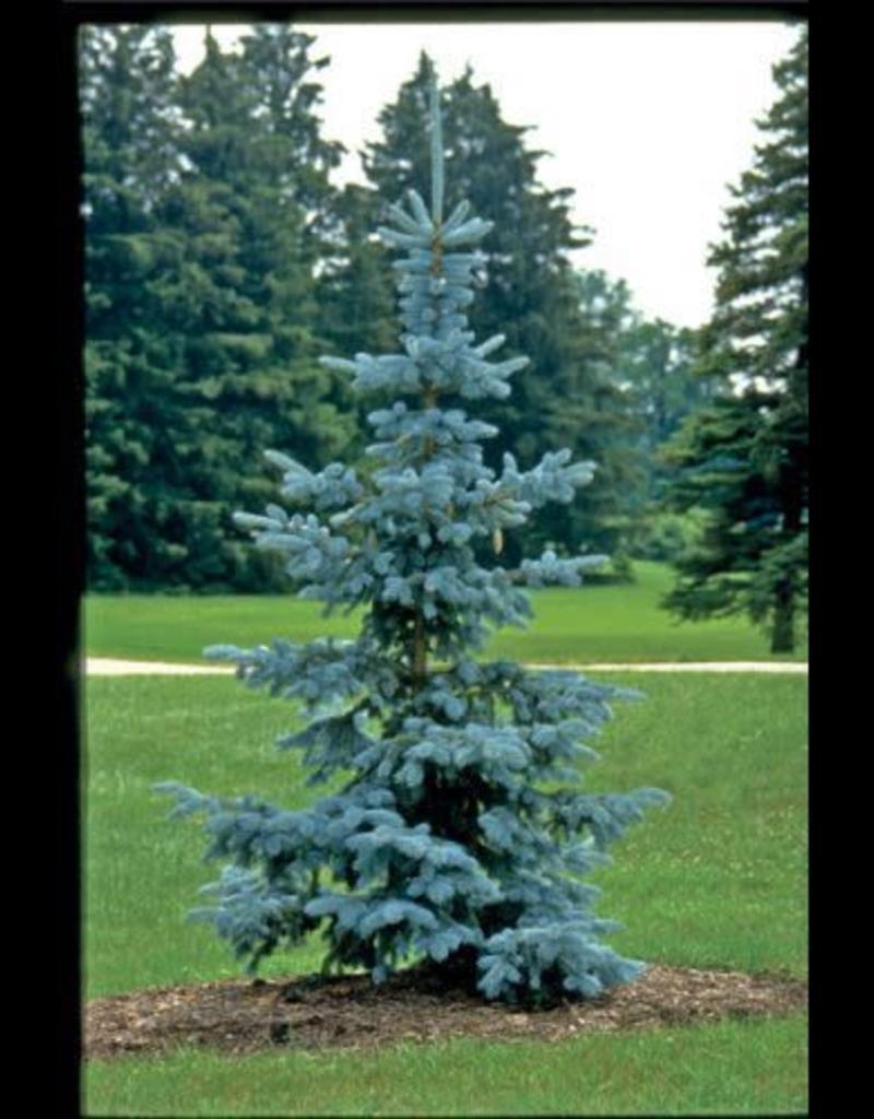 Picea p. glauca 'Hoopsii' #15 3-4'