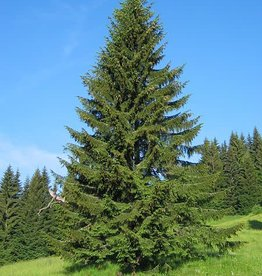 Picea abies -Norway Spruce #3 15-18""