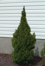 Picea glauca 'Conica' #1 Dwarf Alberta Spruce SF