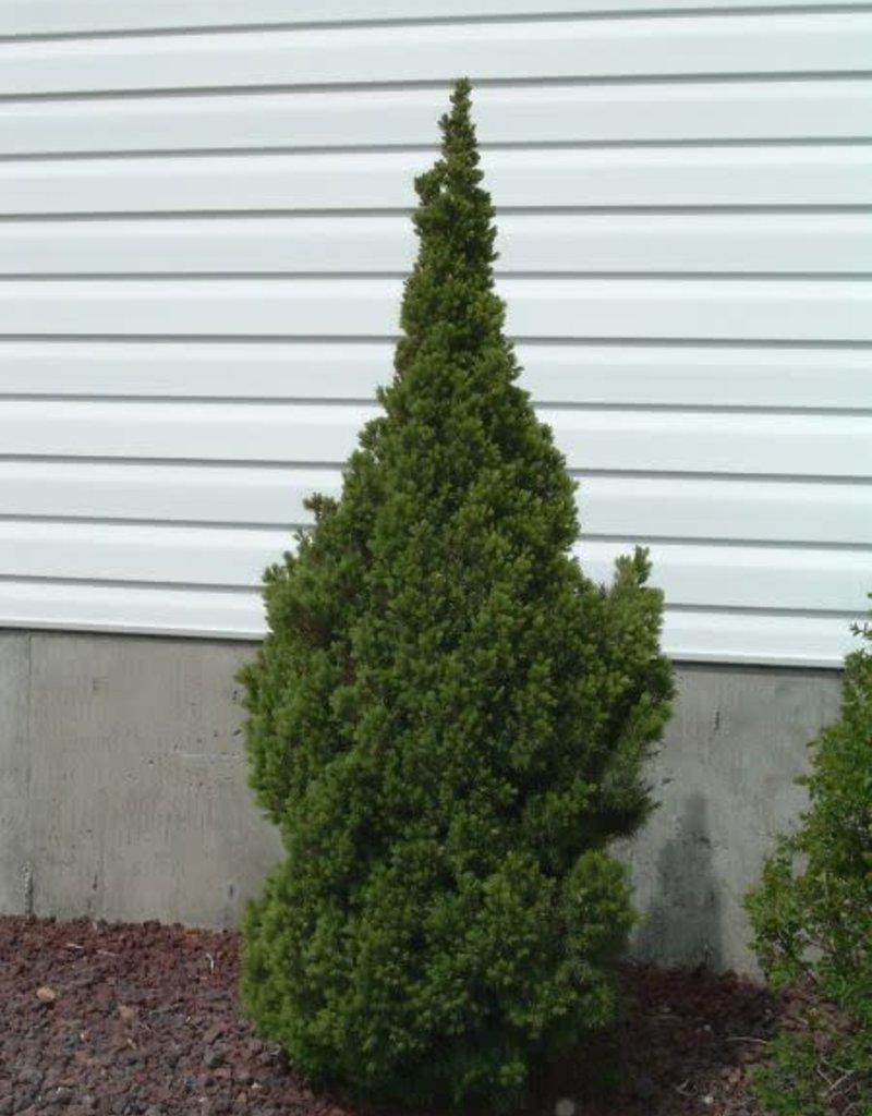 Picea glauca 'Conica' #3 Dwarf Alberta Spruce SF