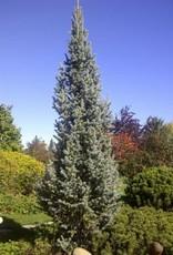 Picea pungens var. glauca 'Fastigiata'