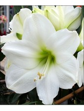 Giant Amaryllis - WHITE