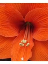 Amaryllis - Naranja