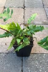Woodwardia orientalis- 4 inch