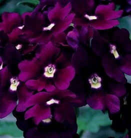 Verbena 'Lanai Royal Purple' - 4 inch