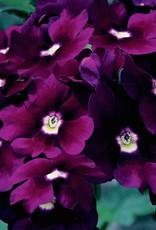 Verbena 'Lanai Deep Purple'- 4 inch