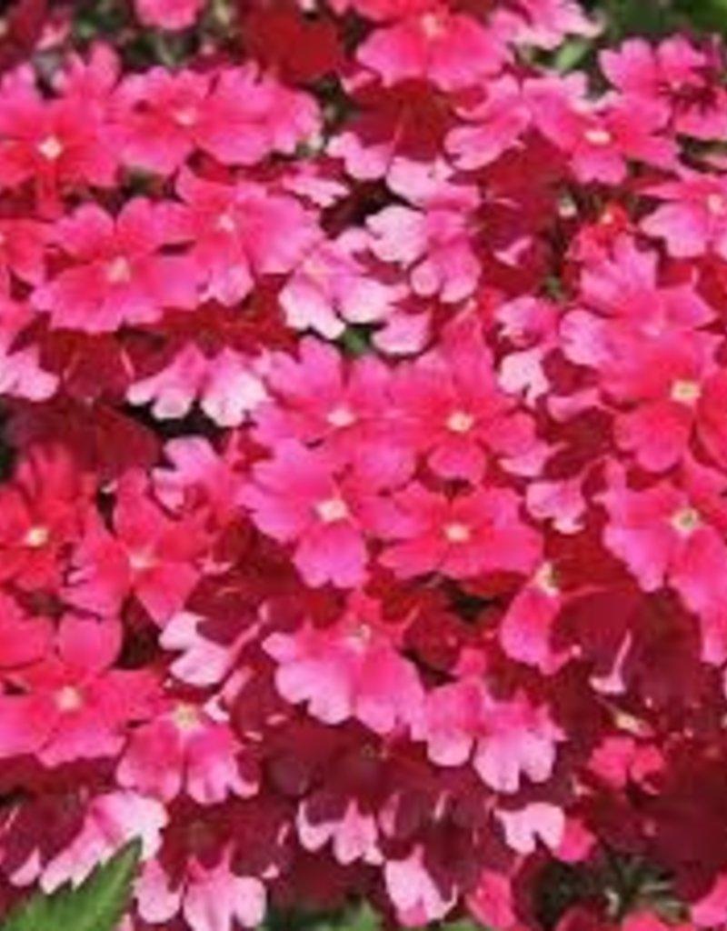 Verbena 'Aztec Wild Rose' - 4 inch