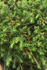Thuja o. 'Mr Bowling Ball'