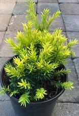 Taxus cuspidata 'Nana Aurescens'- 1 gal